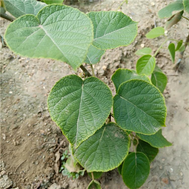 猕猴桃树苗种植方法,猕猴桃苗几年结果,猕猴桃苗木图片大全图片