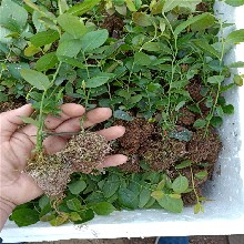 蓝莓苗什么品种好,蓝莓苗几年结果,蓝莓苗价格图片