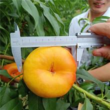 桃树苗哪里买,新品种桃树苗批发多少钱一棵,万恒丰桃树苗基地图片