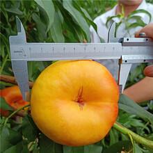 哪里有卖桃树苗的,桃树苗新品种批发价格多少钱,万恒丰桃树苗基地图片