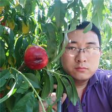 桃树苗哪里买,桃树苗新品种批发价格多少钱,万恒丰桃树苗基地图片