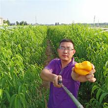 桃树苗哪里买,新品种桃树苗批发多少钱一棵,山东桃树苗供应商图片