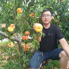 桃树苗哪里买,新品种桃树苗批发价格多少钱,山东桃树苗基地图片