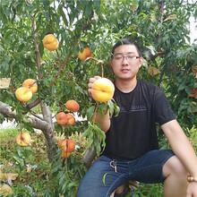 桃树苗哪里买,新品种桃树苗批发多少钱一棵,山东桃树苗基地图片