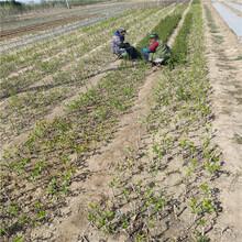 梨树苗新品种、梨树苗订购,果树苗批发基地图片