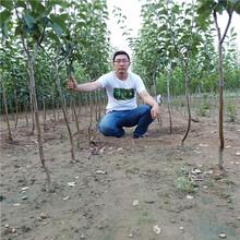 梨树苗供应、新品种梨树苗批发,果树苗培育基地图片