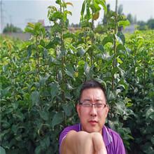 梨树苗基地、黄梨树苗多少钱,果树苗培育基地图片