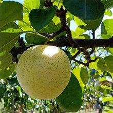 梨树苗批发、梨树苗批发商《品种纯正》图片