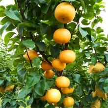 梨树苗供应、秋月梨树苗《基地直供》图片