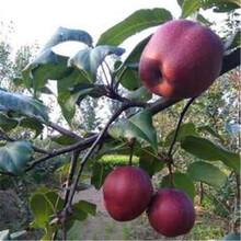 梨树苗报价、秋月梨树苗价格,果树苗基地图片