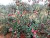 花果澗野蘋果,來自高山上的清甜