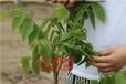 如何種植核桃樹怎樣種核桃樹苗長勢好成活率高