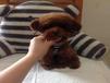 重庆哪里卖泰迪的泰迪多少钱一只泰迪好养吗