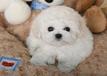 重庆哪里卖比熊犬的比熊多少钱一只比熊好养吗