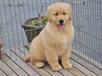 重庆哪里卖金毛犬的金毛多少钱一只金毛好养吗