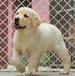 重庆哪里卖拉布拉多犬的拉布拉多多少钱一只拉布拉多好养吗