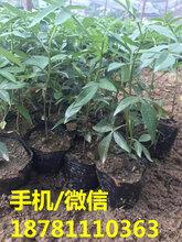 喜阳的藤椒苗基地,营养杯藤椒苗批发,藤椒苗种植技术。图片