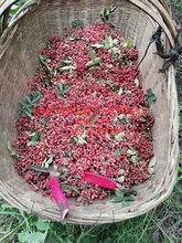 天水無刺大紅袍花椒苗種植基地
