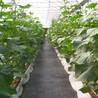 铺设防草布国标防草布以后果树吸收营养能力增强