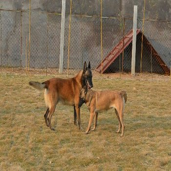 渝中拉布拉多养殖场养狗场具体位置