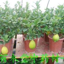 柠檬苗,尤力克柠檬苗,改良高产柠檬苗图片