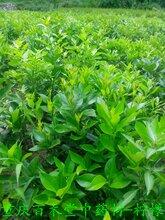 柠檬苗,尤力克柠檬苗,柠檬苗种植前景及效益,正品结果柠檬苗低价处理图片