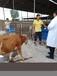 肉牛場必備飼料養牛場用啥飼料可以促進牛長肉快怎樣才能提高肉牛膘情