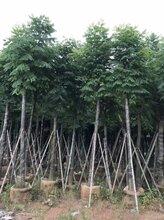 10公分台湾栾树袋苗价格-10公分台湾栾树只需220元-大量10分台湾栾树出售量大价优图片