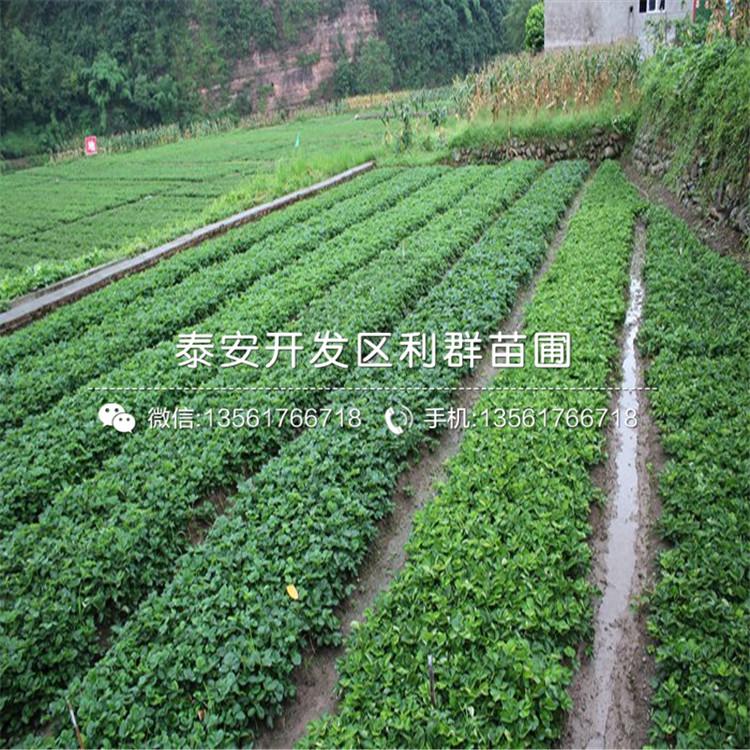 大棚佐賀清香草莓苗基地