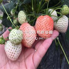 浙江草莓苗基地、浙江草莓苗出售基地圖片