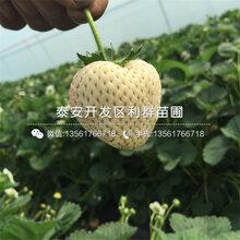 幸之花草莓苗哪里有卖、幸之花草莓苗价格多少图片