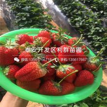 2018年愛娘草莓苗品種圖片