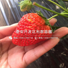 新品種草莓苗新品種、2018年新品種草莓苗基地圖片