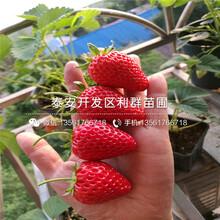 奧巴草莓苗多少錢一棵、2018年奧巴草莓苗批發圖片