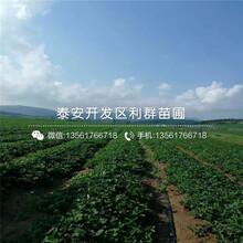 批發越麗草莓苗、批發越麗草莓苗價格是多少圖片