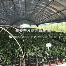 森嘎拉草莓苗新品種、2018年森嘎拉草莓苗價格圖片