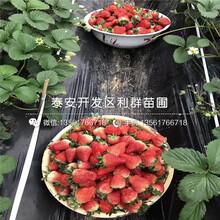 奶油草莓苗品種介紹圖片