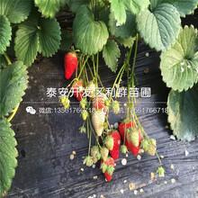 大棚佐賀清香草莓苗基地圖片