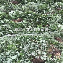 批發日本一號草莓苗、批發日本一號草莓苗價格多少圖片