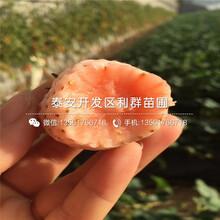 紅玫瑰草莓苗、紅玫瑰草莓苗一株多少錢圖片