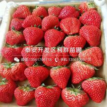 白雪公主草莓苗、白雪公主草莓苗市場價格圖片