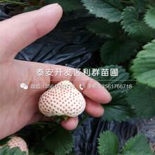 圣安德瑞斯草莓苗圣安德瑞斯草莓苗批發圖片