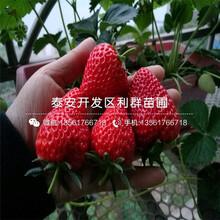 2018年2018年妙香7號草莓苗價格價格圖片