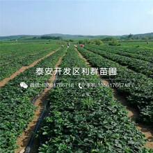 京承香草莓苗、京承香草莓苗批發價格是多少圖片