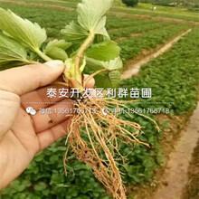 2018年草莓種苗、草莓種苗出售圖片