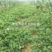 戈雷拉草莓苗報價、2018年戈雷拉草莓苗價格圖片