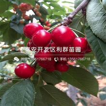 黄蜜大樱桃树苗、黄蜜大樱桃树苗价格是多少图片