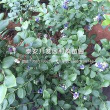 山东奥尼尔蓝莓苗、山东奥尼尔蓝莓苗报价