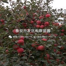 3公分短枝红富士苹果苗价格图片