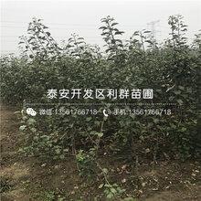 新品种苹果树苗多少钱、2019年新品种苹果树苗多少钱一棵